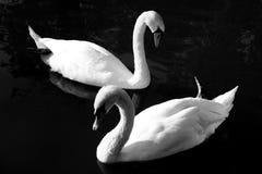 vita swans Arkivbild