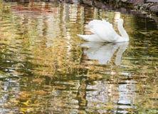 vita swans Arkivfoto