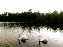 vita swans Arkivbilder