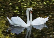 vita swans royaltyfri fotografi