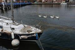 Vita swans och oljespill på fjärden Royaltyfri Bild