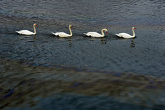 Vita swans och oljespill på fjärden Arkivbilder