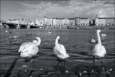 vita swans Prague arkivfoto