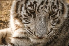 Vita Tiger Close upp royaltyfria bilder