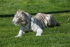 Vita Tiger In The Grass Arkivfoton
