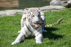 Vita Tiger In The Grass Royaltyfri Bild