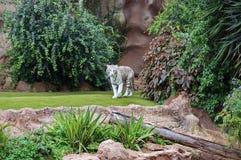 Vita Tiger Panthera tigris går bland den gröna vegetationen fotografering för bildbyråer