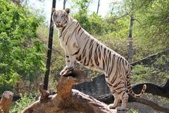 Vita Tiger In Zoo Royaltyfria Bilder