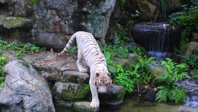 Vita Tiger In Zoo arkivfilmer