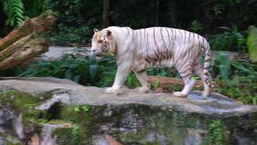 Vita Tiger In Zoo stock video