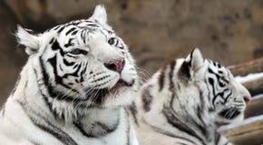 vita tigrar Arkivbilder