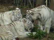 Vita tigrar i Buenos Aires Arkivbild