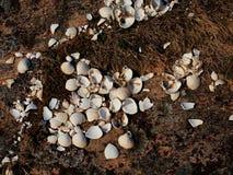 Vita tomma havshelveten i mossa Tomma skal, vila efter fåglar för ett hav matar Fotografering för Bildbyråer