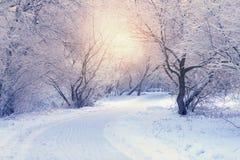 Vita träd i frostig vintermorgon fotografering för bildbyråer