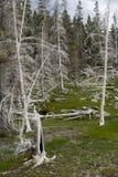 Vita träd i Yellowstone Arkivfoto