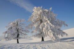 Vita trees Royaltyfri Bild