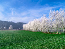 vita trees Royaltyfri Fotografi