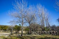 vita trees Royaltyfria Bilder