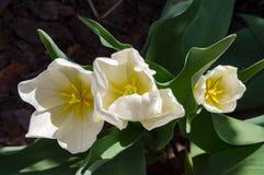 Vita Tulip Trio Royaltyfri Foto