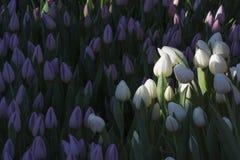 Vita tulpan bland lila tulpan Royaltyfri Fotografi