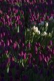 Vita tulpan i fältet av lila tulpan Royaltyfri Fotografi