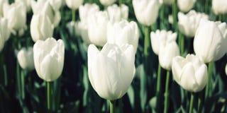 Vita tulpan i trädgården åldrigt foto Makro Royaltyfria Bilder