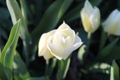 Vita tulpan i trädgården Arkivbild