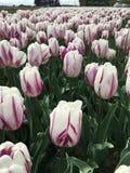 Vita tulpan med purpurfärgade band royaltyfria foton