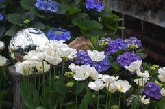 Vita tulpan och purpurfärgade vanliga hortensior Royaltyfria Bilder