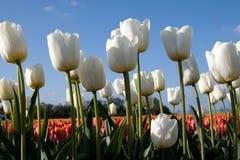 Vita tulpan och röda tulpan Royaltyfria Bilder
