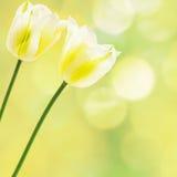 Vita tulpan på abstrakt bakgrund Royaltyfria Bilder