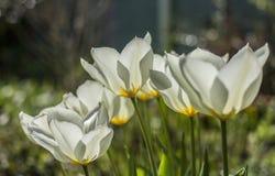 Vita tulpan på en solig dag, ljust och ljust arkivbild