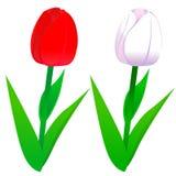 Vita tulpan som är röda och Royaltyfri Bild