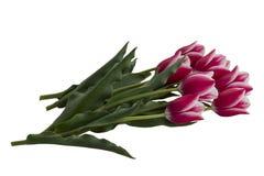 Vita tulpan som är rosa och Royaltyfri Bild