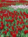 Vita tulpan som omges av ljusa röda tulpan Arkivfoto
