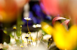 Vita tusenskönor Fotografering för Bildbyråer