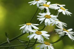 Vita tusenskönor blommar på en solig sommardag Härlig guling-gräsplan blom- bakgrund av skogblommor Närbild royaltyfria foton