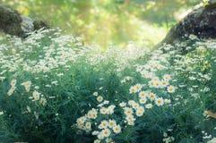Vita tusenskönor fält och solljus Royaltyfri Bild