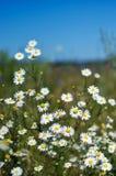 Vita tusenskönor i ett fält på en solig dag Royaltyfri Fotografi