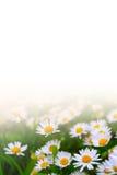 Vita tusenskönor mot en vit bakgrund Arkivfoto
