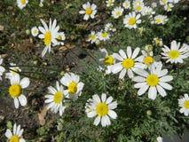 Vita tusenskönor och gräsplansidor Royaltyfri Fotografi