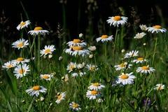 Vita tusenskönor på en grön bakgrund på en solig sommardag fotografering för bildbyråer