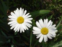 Vita två och gula tusenskönablommor Royaltyfri Bild