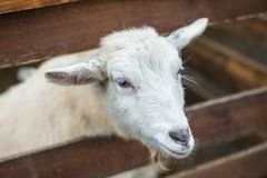 Vita unga får som ser ramen arkivbild
