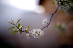 Vita unga plommonblommor i trädgården royaltyfria bilder
