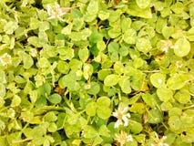vita växter av släkten Trifolium Arkivbild