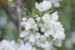 Vita vårblommor av närbilden för äpplefruktträdfilial Royaltyfri Foto