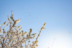 Vita vårblomning och bin fotografering för bildbyråer