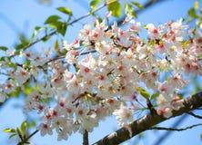 Vita vårblomningar av körsbäret Royaltyfri Bild