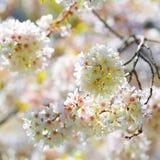 Vita vårblomningar av körsbäret. Utomhus- blommor Royaltyfria Foton